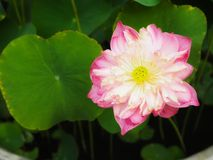 Pink Water Lily. Flower blooming in pond stock image