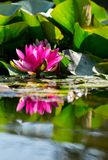 Pink water lily. A pink water lily in a pond with water reflection.Nymphaea alba Also known as water rose, nenuphar or european lily Stock Image