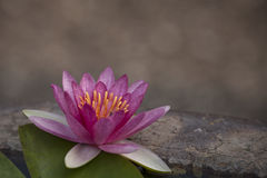 Pink water lily. This plant is common in shallow lakes and ponds throughout temperate and tropical Asia Stock Photography