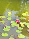 Pink water lily plant with green leaves Stock Photography