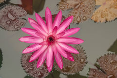Pink water lily. In the pond Stock Photos
