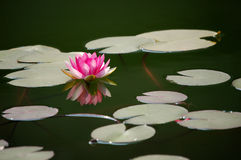 Pink water lily in pond Royalty Free Stock Photos
