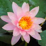 Pink water lily. In pond Royalty Free Stock Photo