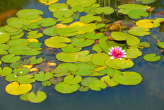 Pink water lily in the pond Stock Photo