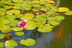 Pink water lily in the pond Stock Image