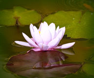 Pink water lily in a pond Royalty Free Stock Photography