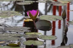 A pink water lily in the pond stock image