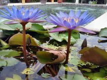 Pink water lily in pond stock photos