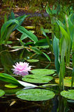 Pink water lily on pond Royalty Free Stock Images