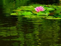 Pink Water Lily on a Pond. With green lily pad reflections royalty free stock image