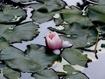 Water Lily in a pond surrounded by leaves. Pink water Lily in a pond surrounded by leaves Royalty Free Stock Photos