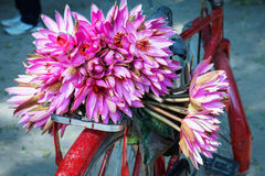 Pink water lily on the red bicycle Stock Photography