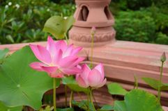 Pink water lily selective focus. Pink water lily, selective focus Royalty Free Stock Photos