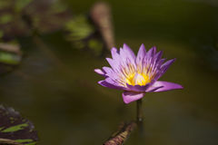 Pink Water Lily. Single pink water lily flower Royalty Free Stock Photos