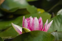 Pink water lily in a small pond stock photography
