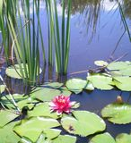 A pink water lily on a still pond. A pink water-lily flower surrounded by lily pads and reeds. The reflection of distant reeds and clouds can be seen in the Stock Image