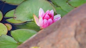 Pink Water lily summer garden. Pink Water lily summer season garden stock video footage