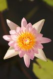 Pink water lily in sunlight Stock Images
