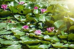 Pink water lily in the sunrays Stock Photos