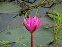 Pink water lily half blossoming. Pink water lily in the water yet to blossom with leaves Stock Images