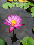 The pink water lily Stock Photos