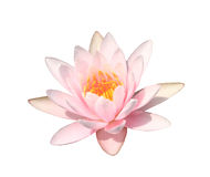 Pink water lily on white background,Pink lotus Royalty Free Stock Images