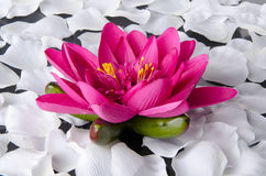 Pink water lily with white petals Stock Photo