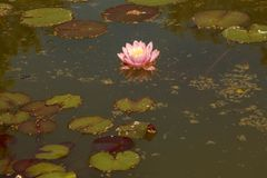 A pink water Lily with a yellow-white middle among the leaves is reflected in a small pond.  stock photos