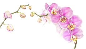 Pink watercolor phalaenopsis orchid isolated on white background. Royalty Free Illustration
