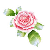 Pink watercolor rose Royalty Free Stock Image