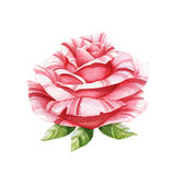Pink watercolor rose Royalty Free Stock Photos