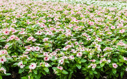 Pink Watercress flowers Royalty Free Stock Images