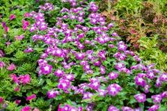 Pink Watercress flowers Royalty Free Stock Photo