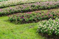 Pink Watercress flowers Royalty Free Stock Photos
