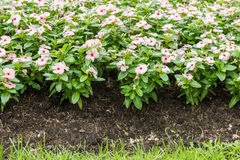 Pink Watercress flowers Stock Photo