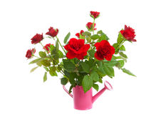 Pink watering can with red roses Royalty Free Stock Image