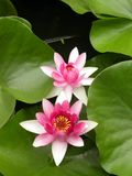 Pink waterlilies Stock Photo