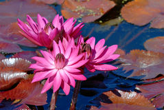 Pink Waterlilies Royalty Free Stock Photography