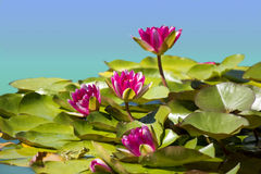 Pink waterlilies in pond Royalty Free Stock Image