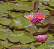 Pink Waterlilies on a Summer Afternoon Royalty Free Stock Images
