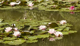 Pink waterlilies on water Stock Photo