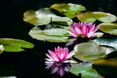 Pink Waterlillies and reflections in dark water. Stock Image