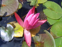 pink waterlilly Arkivbild