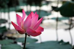 Pink Waterlily Royalty Free Stock Photo