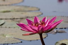 Pink Waterlily. The pink waterlily blooming in the pond Royalty Free Stock Images