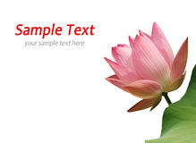 Pink waterlily Stock Images