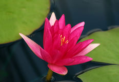 Pink Waterlily. With green lily pads at local lily pond royalty free stock photography