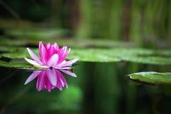 Pink waterlily. In garden pond Stock Photo
