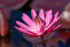 Pink Waterlily Royalty Free Stock Photos