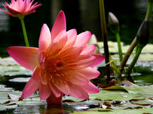 Pink Waterlily. Water Lily Stock Photo